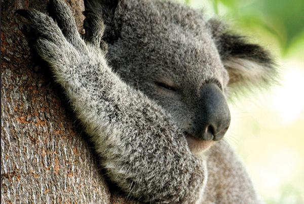 Lovable Koala