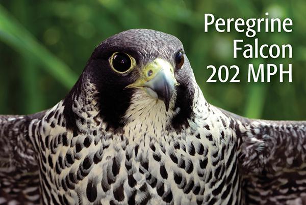 Majestic Peregrine Falcon
