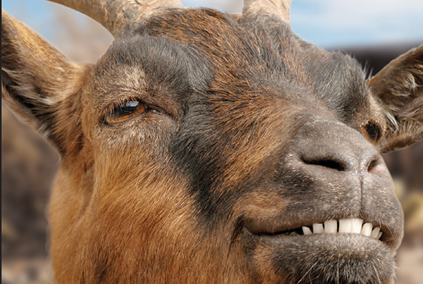 Smiling Goats Related Keywords & Suggestions - Smiling ...